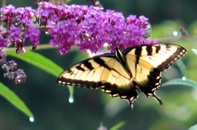 Butterfly Bush and Monarch Butterfly