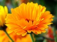 Calendula Natural Facial Skin Care