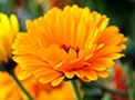 Calendula Natural Hair Care