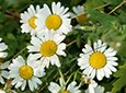 Chamomile Natural Skin Care