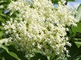 Elder Flowers Organic Skin Care