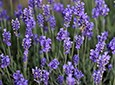Lavender Natural Skin Care