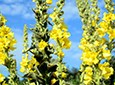 Mullein Natural Skin Care