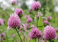 Red Clover Natural Skin Care