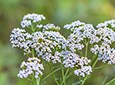 Yarrow Natural Skin Care
