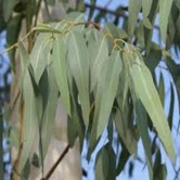 Lemon Eucalyptus