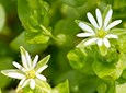 Chickweed Natural Skin Care