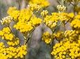 Helichrysum Natural Face Care