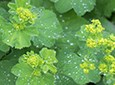 Lady's Mantle Natural Skin Care