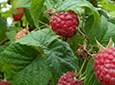 Red Raspberry Natural Facial Skin Care