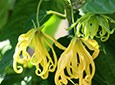 Ylang Ylang Natural Skin Care