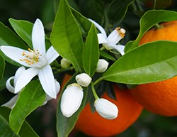 Neroli Orange Blossoms