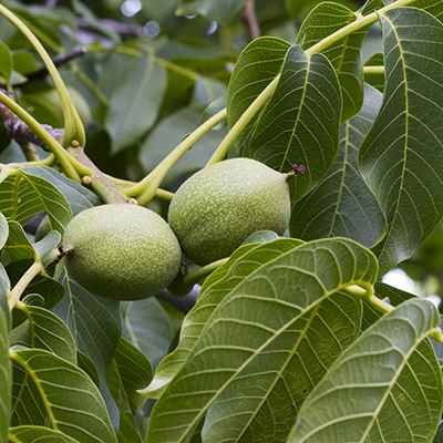 Organic Black Walnut Leaf
