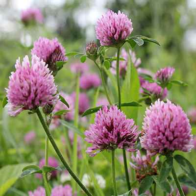 Organic Red Clover