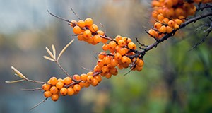 Organic Sea Buckthorn Oil Skin Care for Rosacea