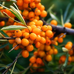 Organic Sea Buckthorn Oil Cream Salve