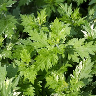 Mugwort Bath Herb